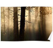 16.6.2013: Summer Morning in Pine Tree Forest Poster