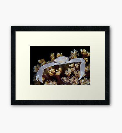 White Coral Crab Framed Print