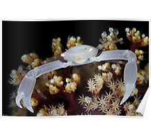 White Coral Crab Poster