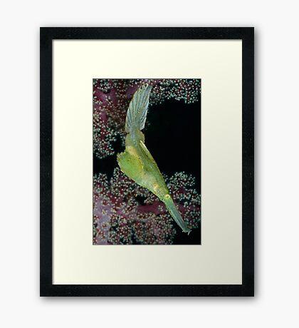 Robust Ghostpipefish Framed Print