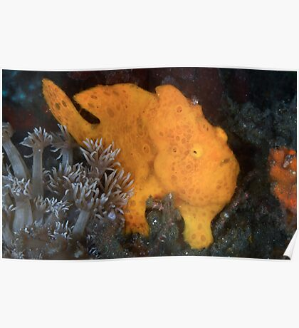 Yellow Painted Frogfish Poster