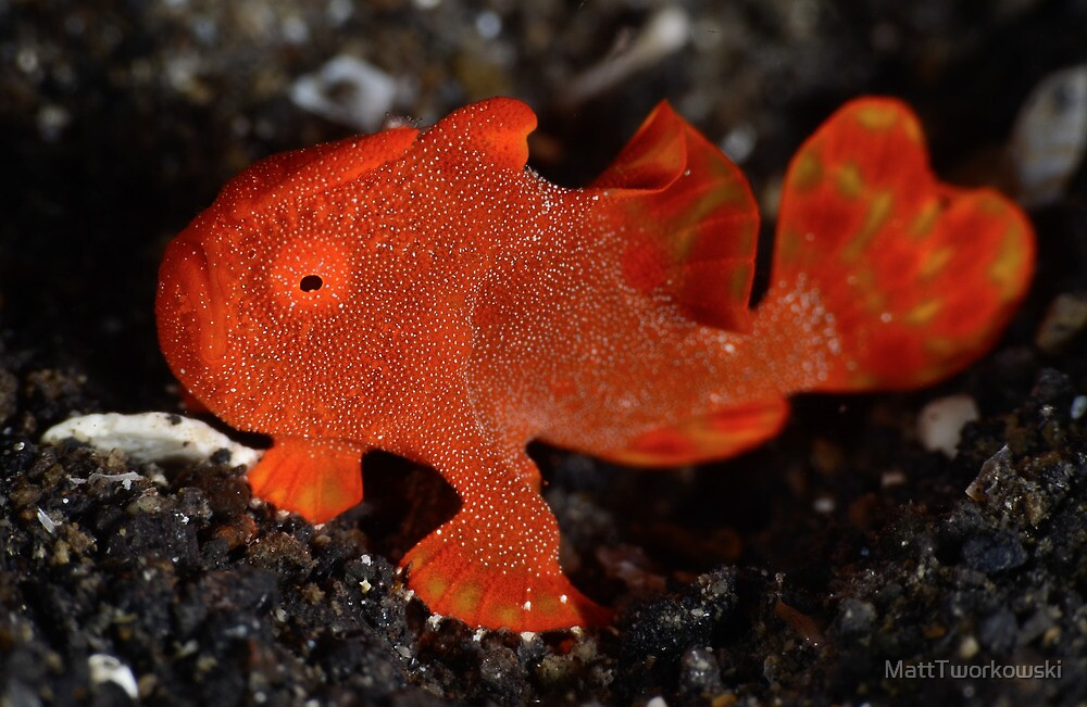 Juvenile Painted Frogfish by MattTworkowski
