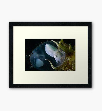 Baby Cuttle In Egg Framed Print
