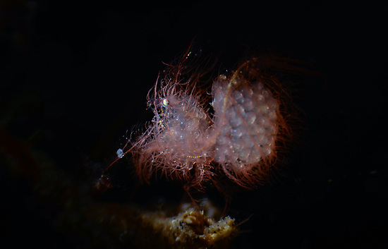 Hairy Shrimp With Eggs by MattTworkowski