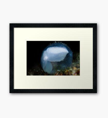 Cuttlefish In Egg Framed Print