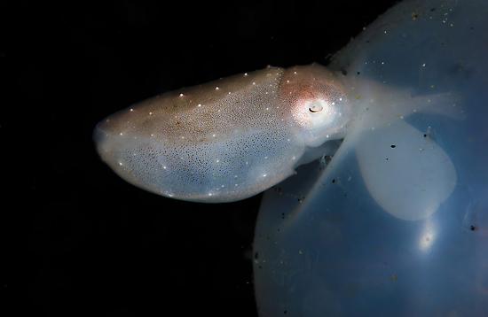 Hatching Cuttlefish by MattTworkowski
