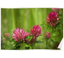 Simple beauty of red clover Poster