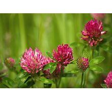 Simple beauty of red clover Photographic Print