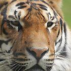 tiger eyes by Martynb
