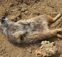 meerkat sunning  by Martynb