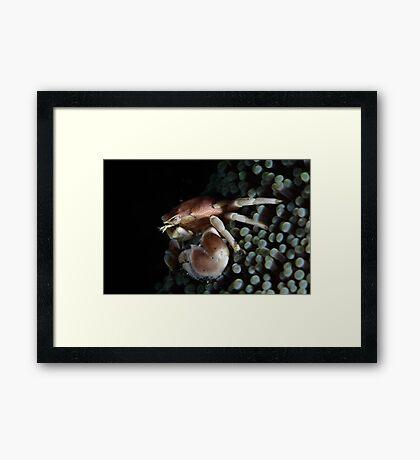 Porcelain  Crab Framed Print