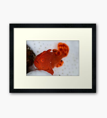 Painted Frogfish Framed Print