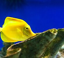 Yellow Tang by Moonlake