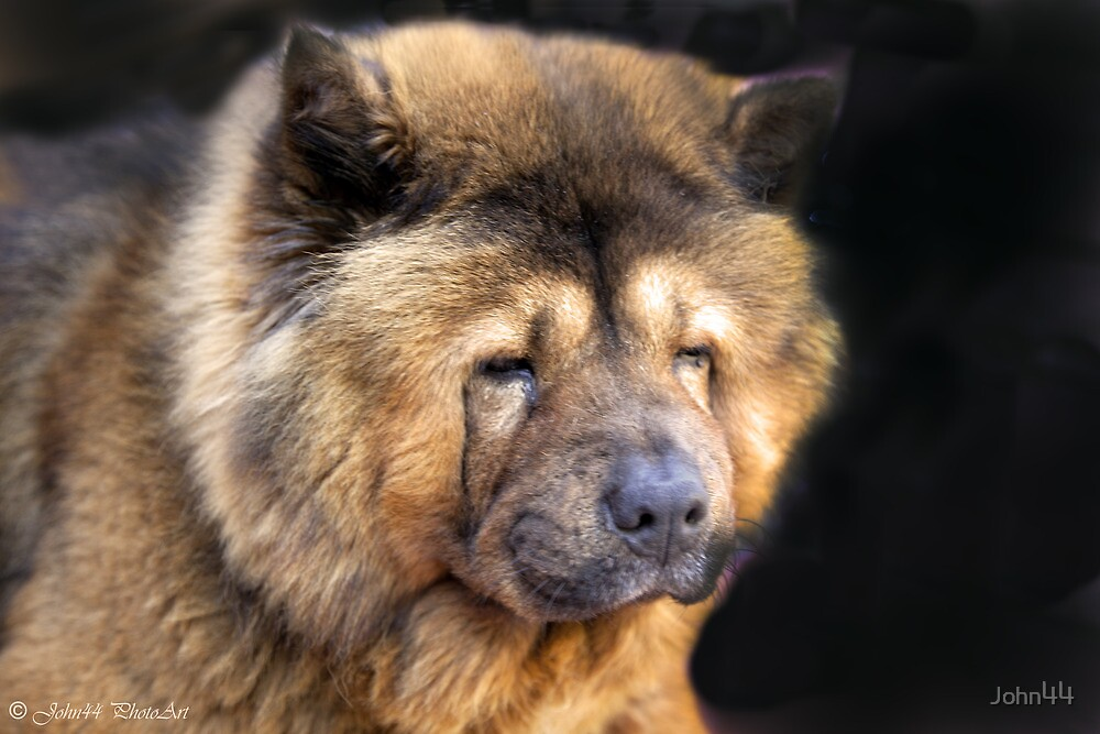 A Greek Chow Chow ...[FEATURED ] by John44