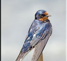 Swallow with Beak Open and Singing a Song by imagetj