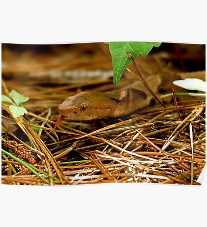 Copperhead Snake Sticking Tongue at me Poster