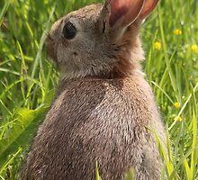 baby rabbit   by glphotos