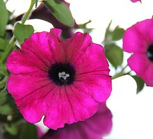 Hot Pink Petunias by seeingred13