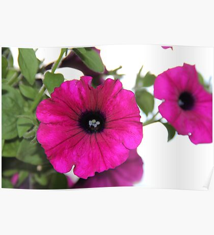 Hot Pink Petunias Poster