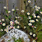 Daisies Rock Okay by lynn carter