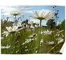Marguerites in a meadow Poster