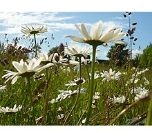 Marguerites in a meadow Photographic Print