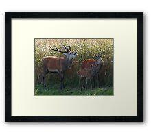 A family of red deer Framed Print