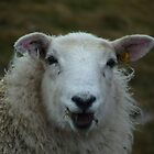 Happy Highland Sheep by Kat Simmons