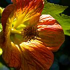 Orange Flowering Maple by John Butler