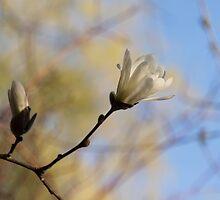 Dreamy Magnolia by Georgia Mizuleva