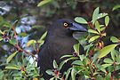 Black Currawong and mountain pepper by Donovan wilson