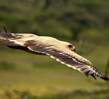 Tawney Eagle ( Aquila rapax) Lake Nadutu Southern Serengeti  Tanzania by john  Lenagan
