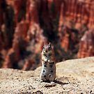 Bryce Canyon Squirrel by Jamie Kiddle