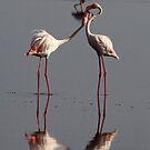 Getting aquainted - Greater Flamingos ( Phoenicopterus roseus) Lake Nadutu  Serengeti Tanzania by john  Lenagan