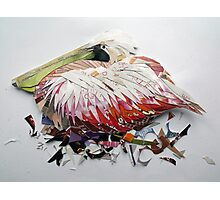 resting pelican Photographic Print