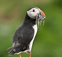 Puffin with a mouthfull. by Richard  Lane