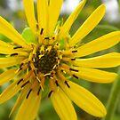Wild Prairie Sunflower by WildestArt