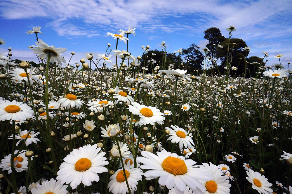 Daisies by Barry Goble