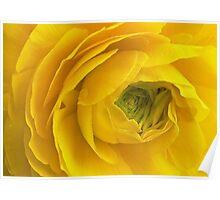 Unculus Ranunculus Poster