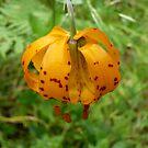 Wild Tiger Lily 2 by Jess Meacham