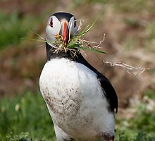 Puffin Building Nest in Scotland Treshnish Isles Vertical Print by Christy Woodrow