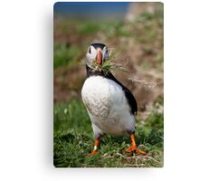 Puffin Building Nest in Scotland Treshnish Isles Vertical Print Canvas Print