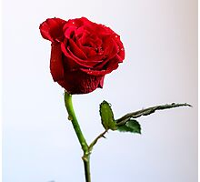 Red Rose - Keeping me alive Photographic Print