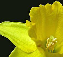 Gentle Daffodil by BlueMoonRose