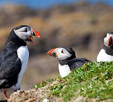 Puffins in Scotland - Hebrides Islands by Christy Woodrow
