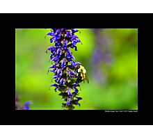 Xylocopa Virginica - Common Eastern Carpenter Bee - Middle Island, New York Photographic Print