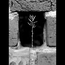 A Single Plant Growing Out Of The Old Brick Wall - Upper Brookville, New York  by © Sophie W. Smith