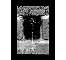A Single Plant Growing Out Of The Old Brick Wall - Upper Brookville, New York  Photographic Print
