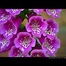 Digitalis Purpurea Excelsior Hybrids - Common Foxglove - Upper Brookville, New York  by © Sophie W. Smith
