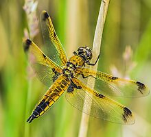 Four-spotted Chaser Dragonfly by MikeSquires